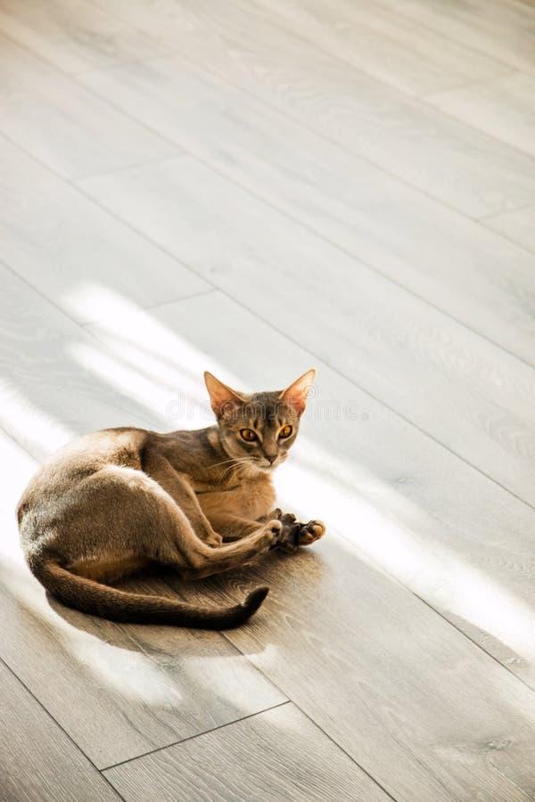 Kota trakenu Abisyński lying on the beach na podłoga w świetle słonecznym fotografia stock