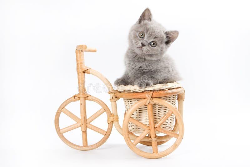 kotek brytyjskiej zdjęcie stock