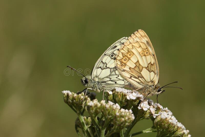 Kotelni para Marmurkowaty Biały motyl, Melanargia galathea, tyczenie na krwawnika kwiacie w polu w UK zdjęcie stock