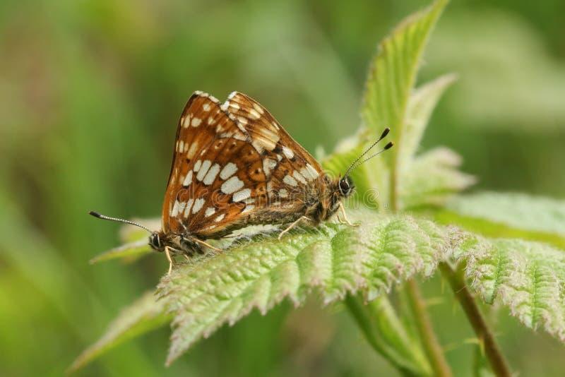 Kotelni para rzadki diuk Burgundy motyl & x28; Hamearis lucina& x29; fotografia royalty free