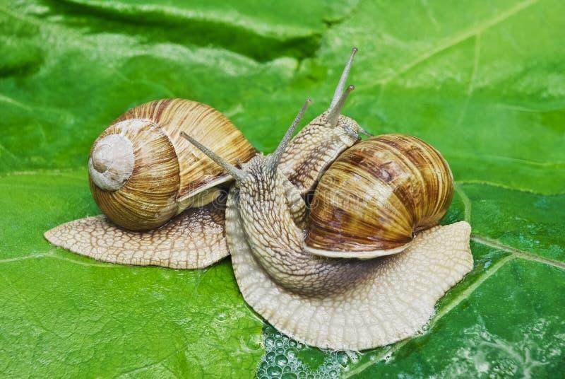Kotelnia gemowi ślimaczki na tle zieleni liście obrazy stock
