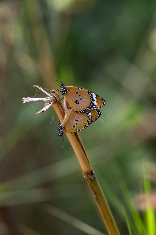 Kotelnia motyle obrazy royalty free
