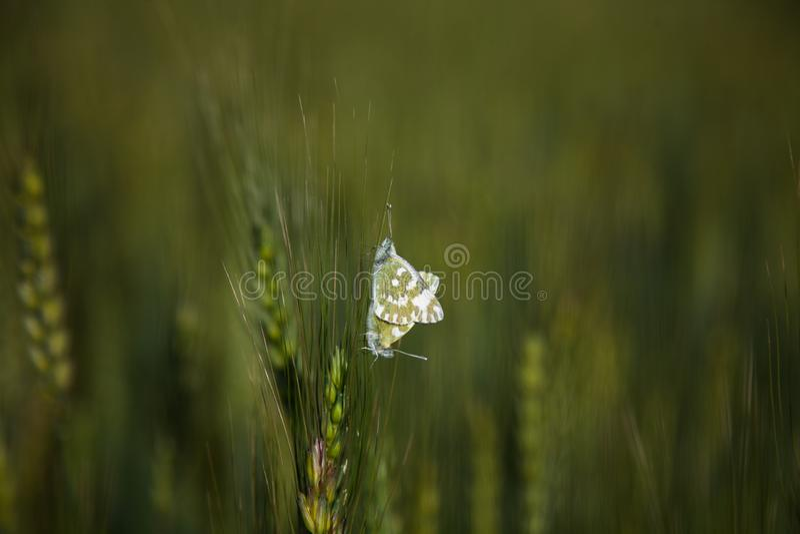 Kotelnia motyle obraz stock