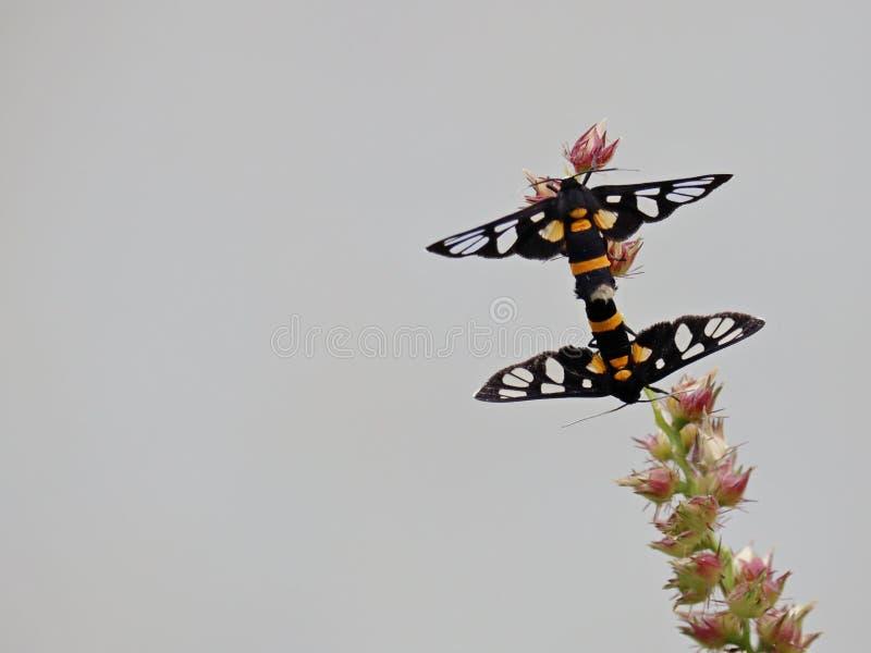 Kotelnia motyle zdjęcia stock