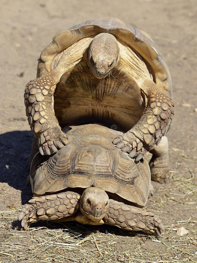 Kotelnia sulcata tortoises zdjęcie royalty free