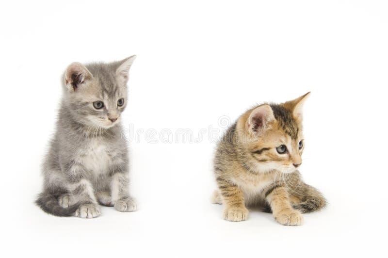 kotki dwa fotografia royalty free