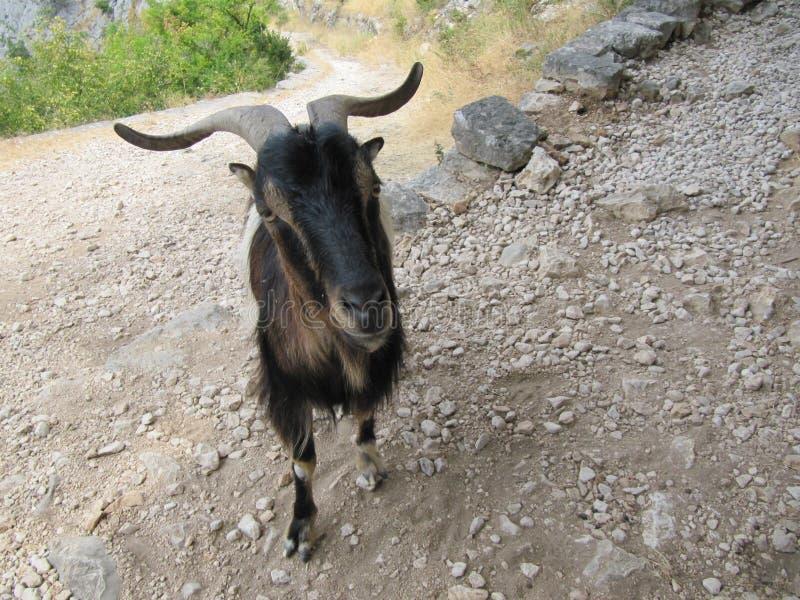 Kotor/Montenegro - Juli 16 2017; Portret van berggeit Fotografie van aard en het wild royalty-vrije stock foto's