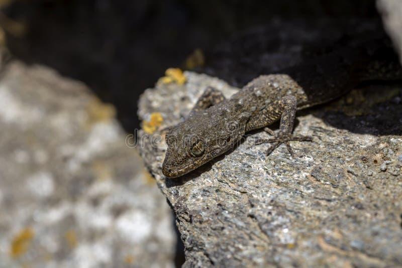 Kotschyi de Mediodactylus du gecko de Kotschy se reposant sur un plan rapproché de pierres dans un jour ensoleillé photos stock