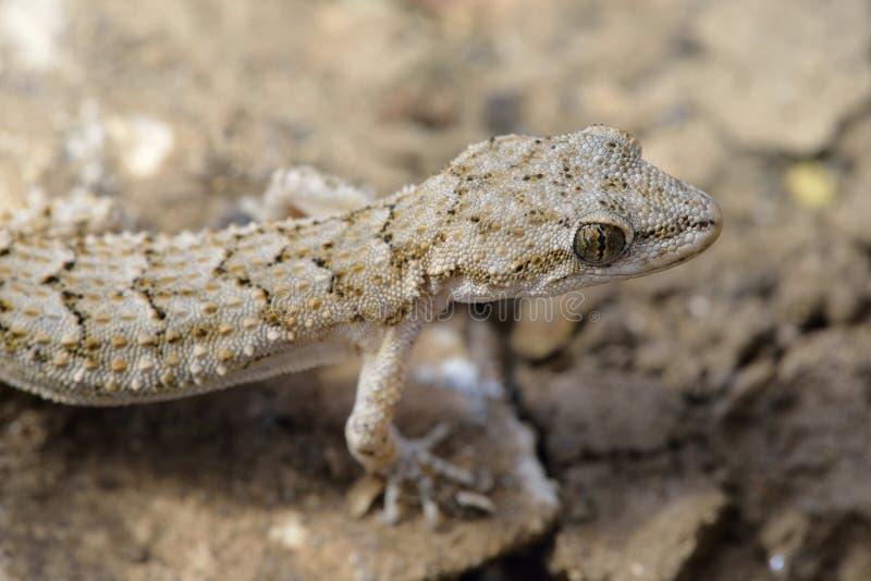 Kotschys-Gecko stockfotografie