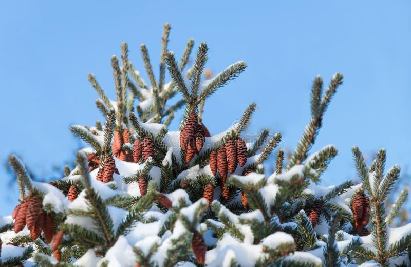 Kottar överst av granen under vit snö fotografering för bildbyråer