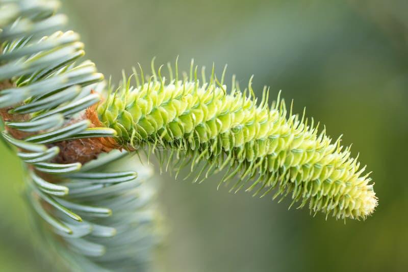 Kottebakgrund Närbild av en ung grön gran-träd kotte på en t royaltyfri fotografi