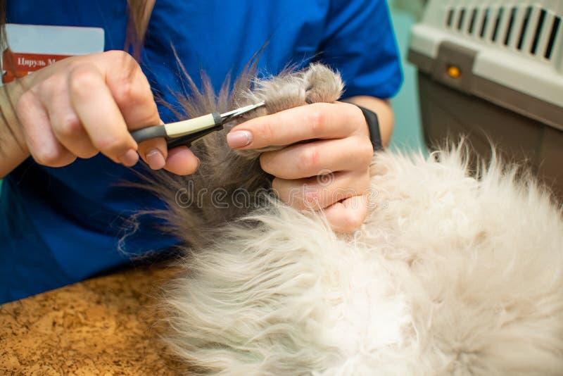 Kotu è unghie tagliate con i forcipi speciali, clinica veterinaria, cura di animale domestico immagini stock libere da diritti