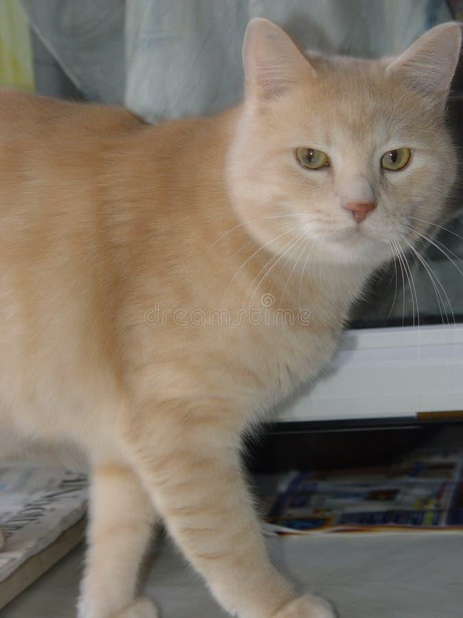 Download Koty zdjęcie stock. Obraz złożonej z błękitny, owłosiony - 30946
