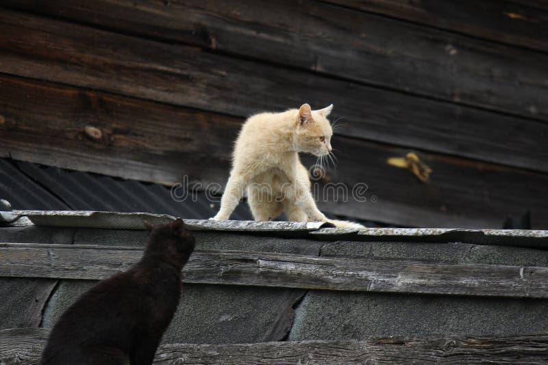 Koty na dachu obrazy royalty free