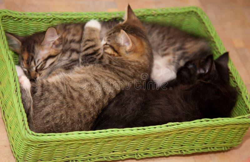 koty szczęście Figlarka cztery miesiąca obrazy royalty free