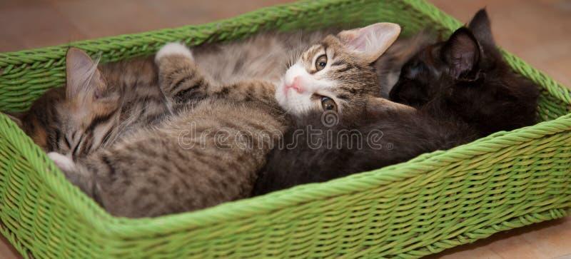 koty szczęście Figlarka cztery miesiąca fotografia royalty free