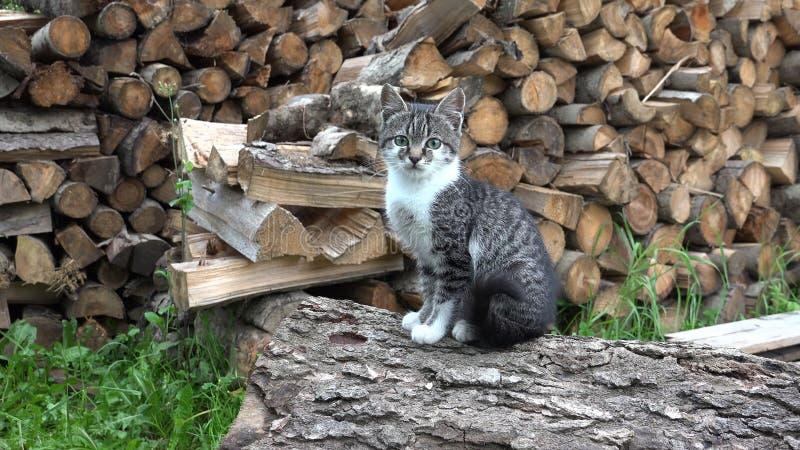 Koty w Rolnym jardzie, Koc? si? Patrze? in camera, kicia kota obsiadanie w ogr?dzie obraz stock