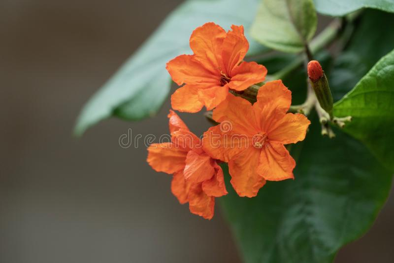 Geiger tree flowers. Closeup of orange Geiger tree flowers and leaves stock photo