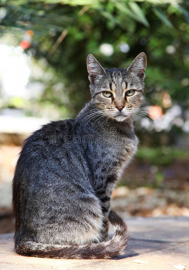 Koud-Livered kat stock afbeelding