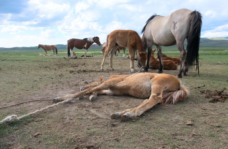 The koumiss farm royalty free stock image