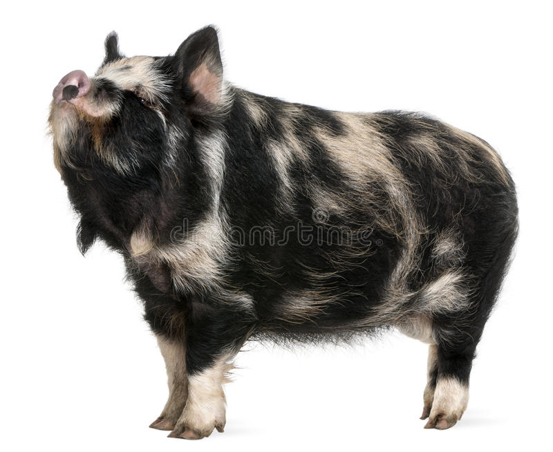 Download Kounini pig stock photo. Image of domestic, isolated - 18257984