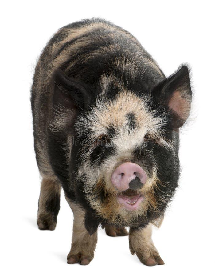 Kounini pig stock photo