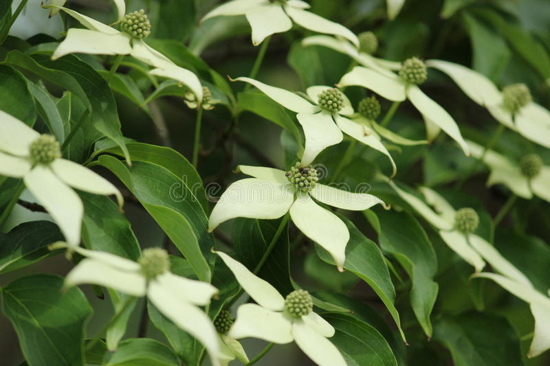 Kousa Dogwood royalty free stock photography