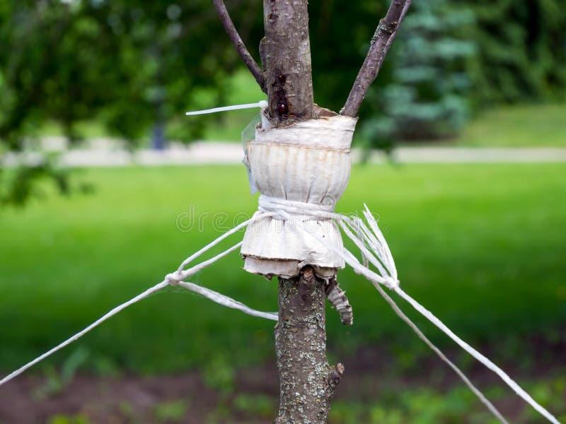 Kouseband een jonge boom met streng tegen het ontwortelen te beschermen stock afbeelding