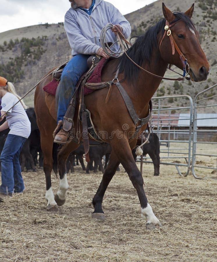 Kowboj na końskiej ciągnięcie arkanie zdjęcie royalty free