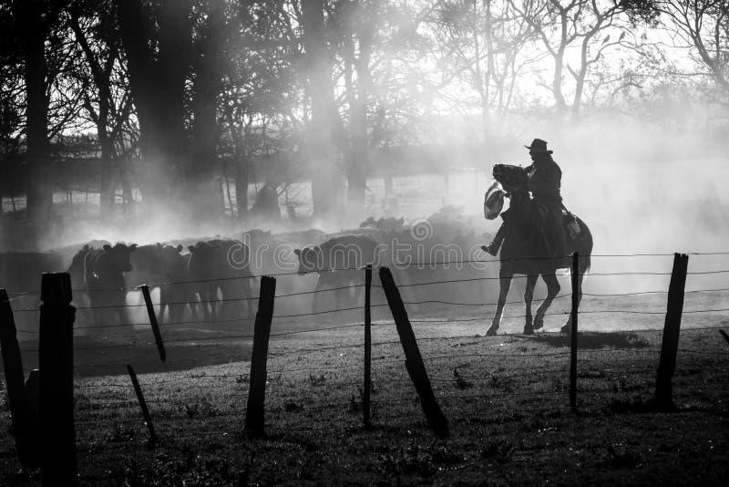Kowboj prowadzący bydło z jego koniem w Argentyńskim pampa, czarny i biały zdjęcia royalty free