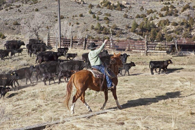 Kowboje i konie rusza się krowy zdjęcia stock