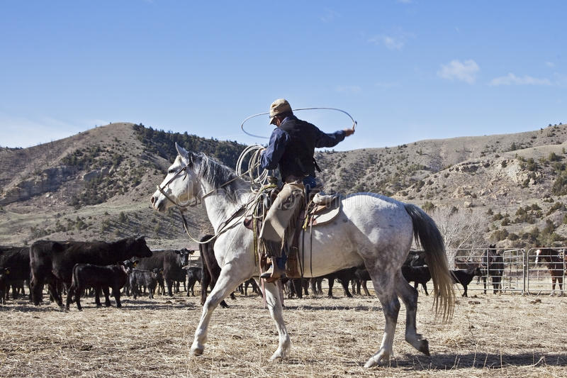 Kowbojskie i końskie poruszające krowy zdjęcia royalty free