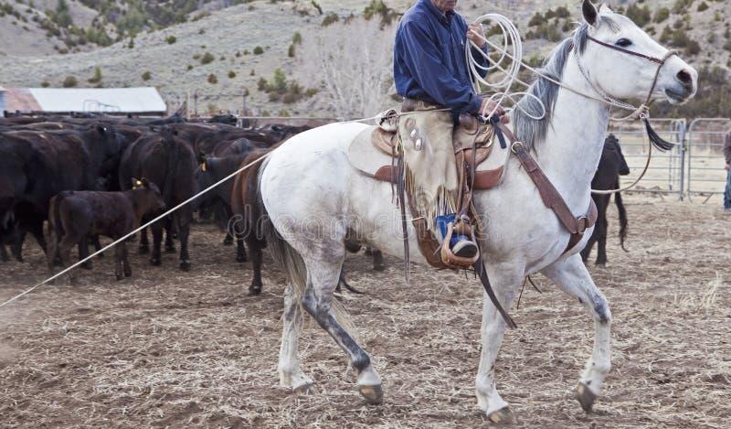 Kowbojskie i końskie poruszające krowy fotografia royalty free