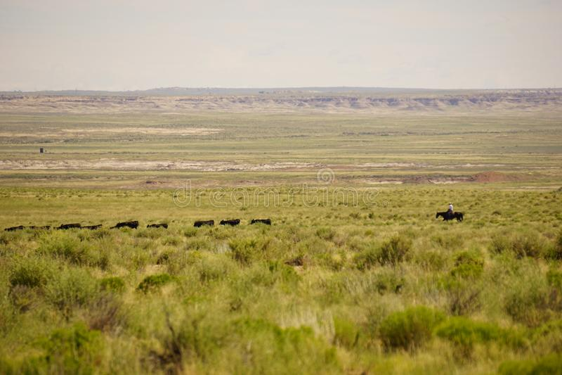 Kowbojskie poruszające krowy zdjęcia stock