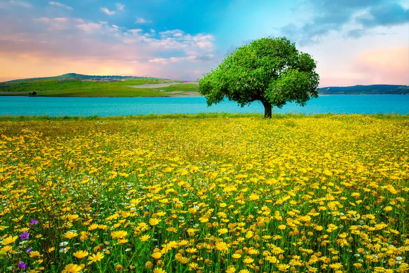 ??kowej trawy krajobraz, Izmir, Sakran, Aliaga i Turcja pojedynczy drzewni/ obraz royalty free