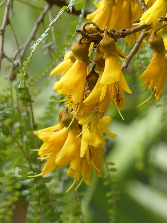 Kowhai drzewa kwiaty fotografia royalty free
