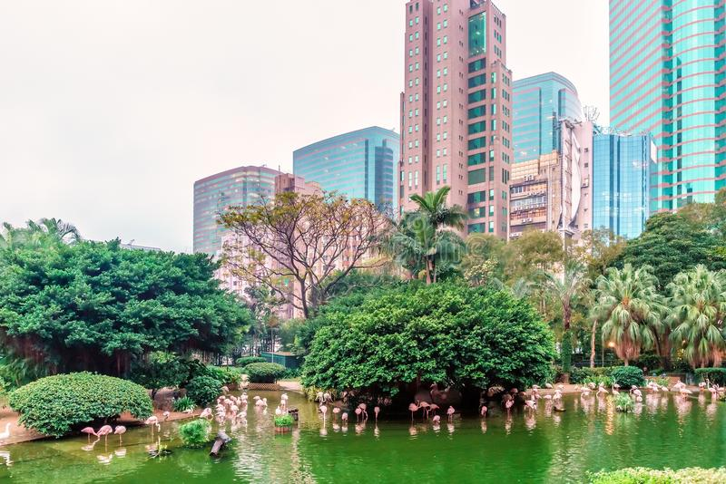 Kowloon Park blends well with surrounding natural landscape of Hong Kong city. Pink flamingoes hunting in the pond. Hong Kong city stock images
