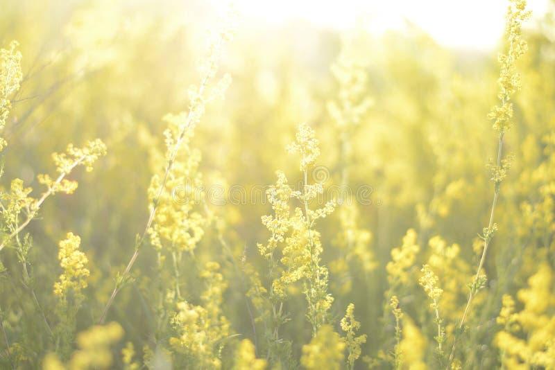 ??kowy ranek Natury t?o z traw? i wildflowers polem Gazon w ?wietle s?onecznym mi?kkie ogniska, wsch?d s?o?ca lub zmierzch fotografia stock