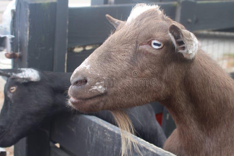 Download Koza zdjęcie stock. Obraz złożonej z chłodno, ssak, uroczy - 57670158