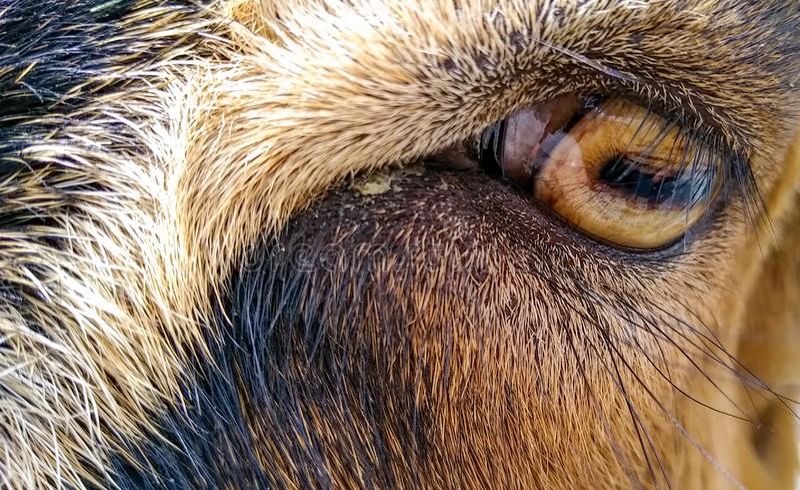 koza zdjęcie stock