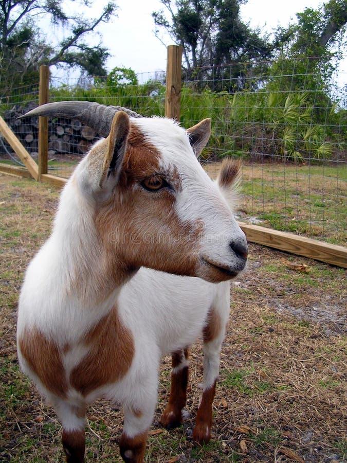 koza profil zdjęcie stock