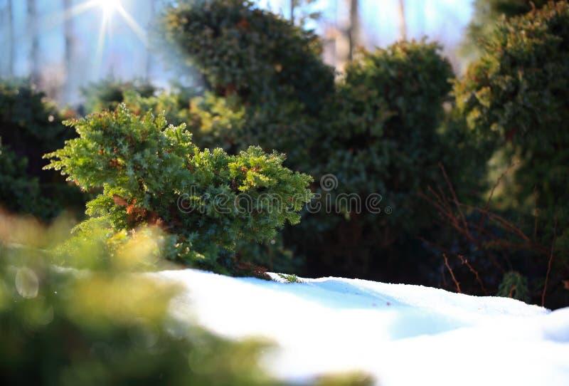Kozacki junior Jałowiec sabina Unoszenie jałowca nożyczkami ogrodniczymi, miękka ostrość Sztuka ogrodnicza/ projekt/ zdjęcie royalty free