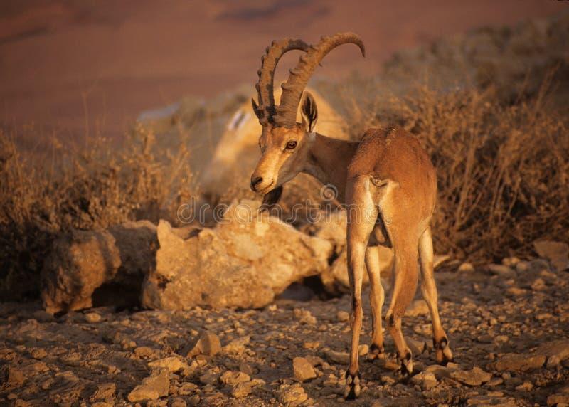 Koziorożec Israel Nubian Zdjęcie Stock
