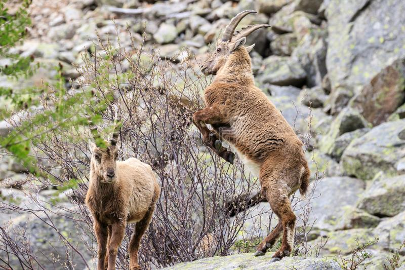 Kozioro?ec w Granu Paradiso parku narodowym obraz stock
