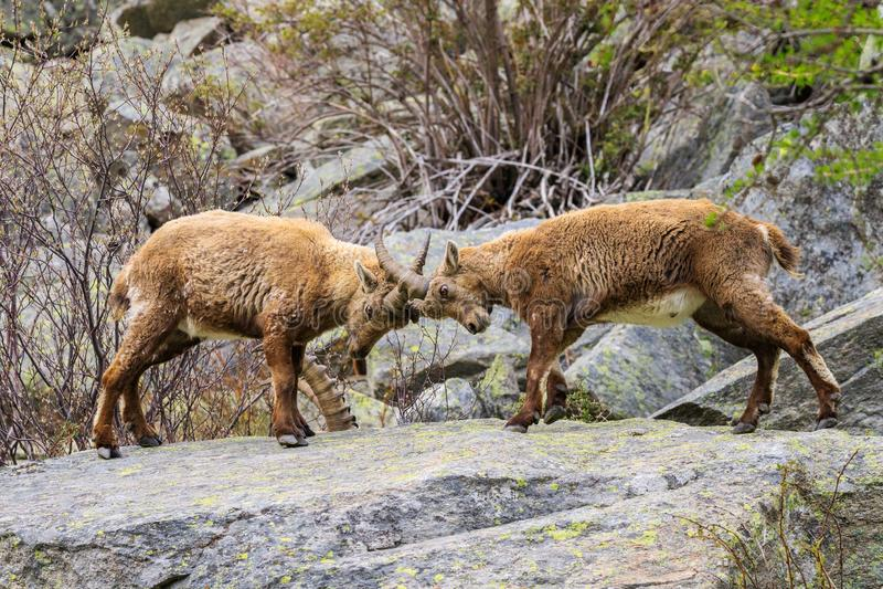 Kozioro?ec w Granu Paradiso parku narodowym obrazy stock