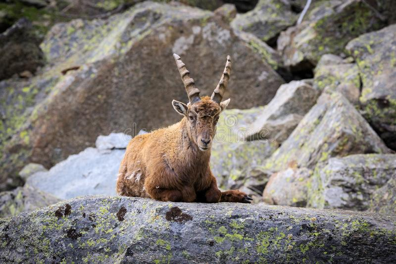 Kozioro?ec w Granu Paradiso parku narodowym fotografia royalty free