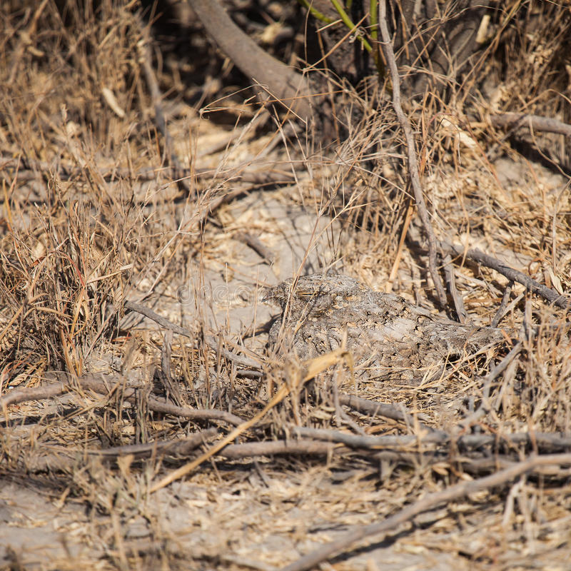 Kozodoju ptak zdjęcia stock