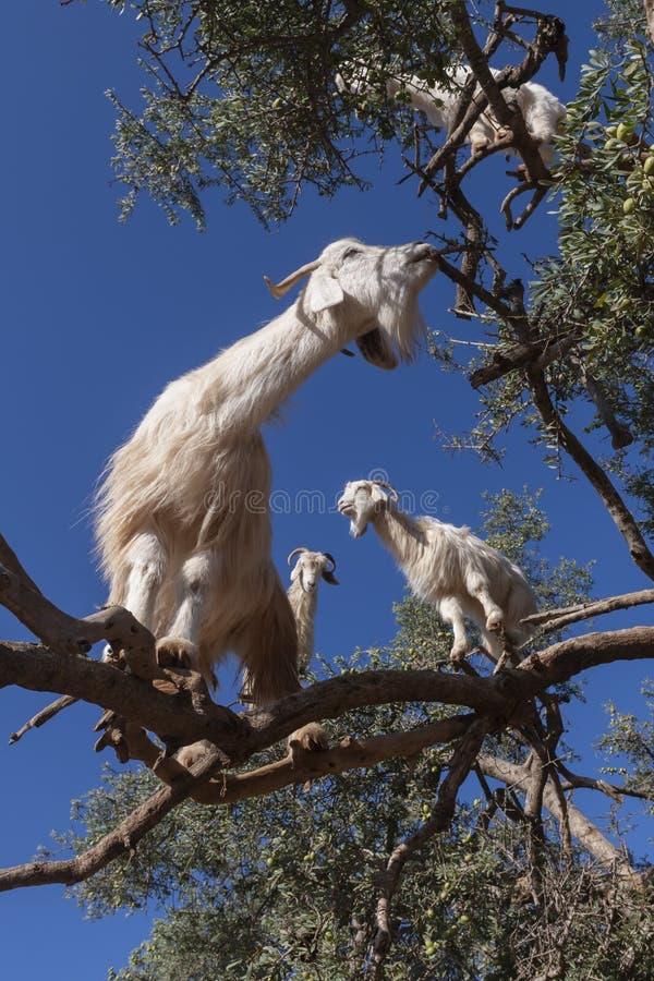 Kozy białe na drzewie arganowym jedzące liście obrazy stock