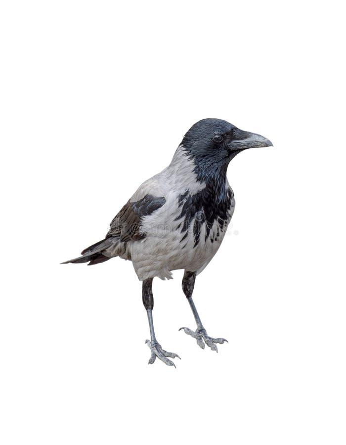 Krähe lokalisiert auf weißem Hintergrund lizenzfreie stockfotografie