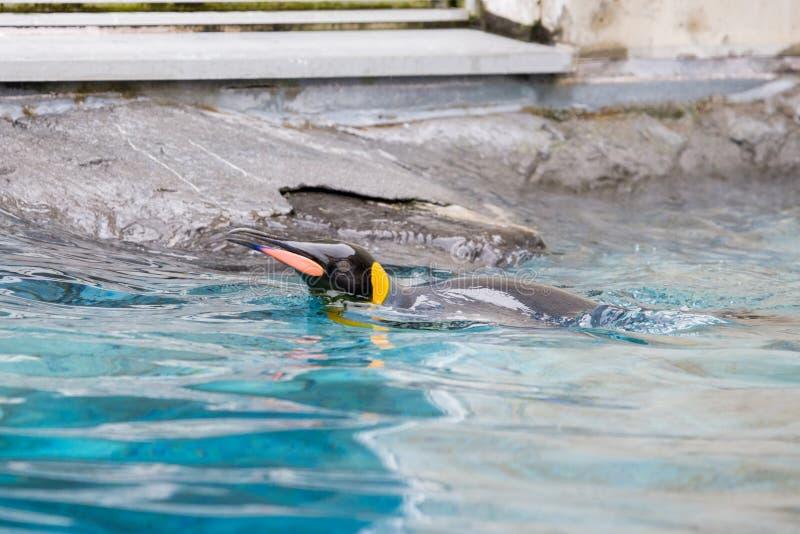 Królewiątko pingwinu Aptenodytes patagonicus dopłynięcie w wodzie obraz stock